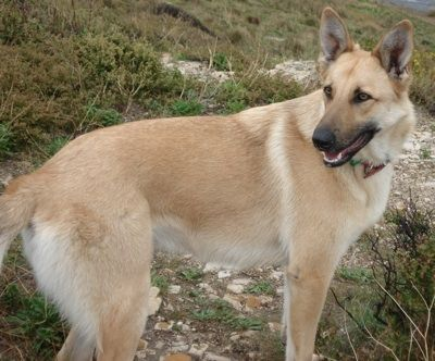 Belgian Malinois Dog Breed Information and Pictures