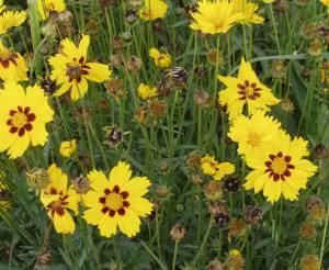 Coreopsis lanceolata, 'Sterntaler' Seeds £2.55 from Chiltern Seeds - Chiltern Seeds Secure Online Seed Catalogue and Shop