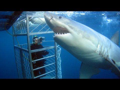 Белая акула. Изучение акул, повадки, среда обитания. - YouTube