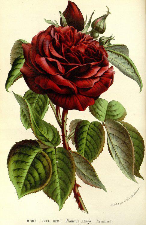 Rosetaken from Flore des serres et des jardins de l'Europe (1861).    Louis van Houtte (1810–1876)