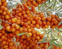 Astım İlacı: Deniz Üzümü Deniz üzümünün etkin maddesi olan efedrin santral sinir sistemini uyararak bronşları genişletir. Bu açıdan astıma faydalıdır. 500 yıldır bu amaçla kullanılmaktadır. Ağustos –Eylül ayları arasında çiçekler açan, 1-2 metre boyunda bezelye şeklinde ekim ayında olgunlaşan sarı veya kırmızı meyveleri olan bir çalıdır.