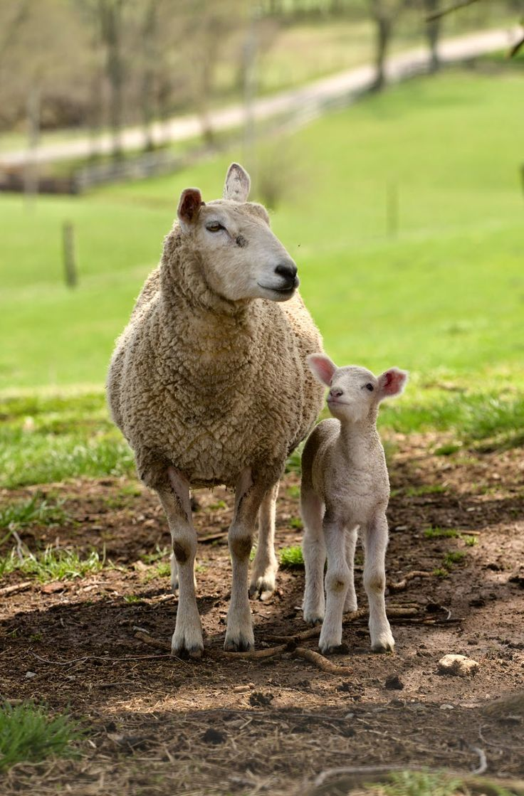 884 best cows and sheep images on Pinterest | Sheep, Farm animals ... for Happy Baby Lamb  54lyp