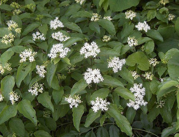Silky Dogwood are also known as Cornus Amomum. Hardy planting zones are 2-10. Growth rate is 1 to 3 feet per year.