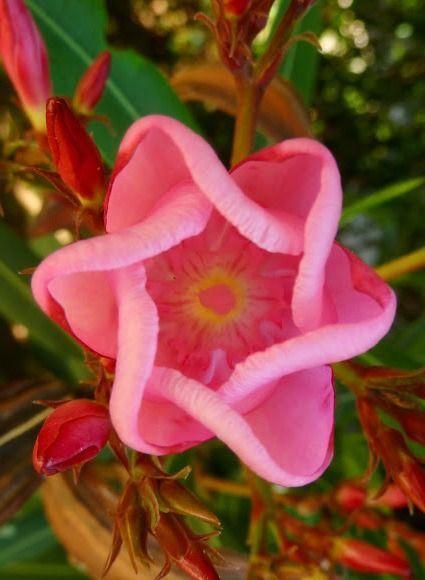 Oleander (Nerium ole Beautiful gorgeous pretty flowers
