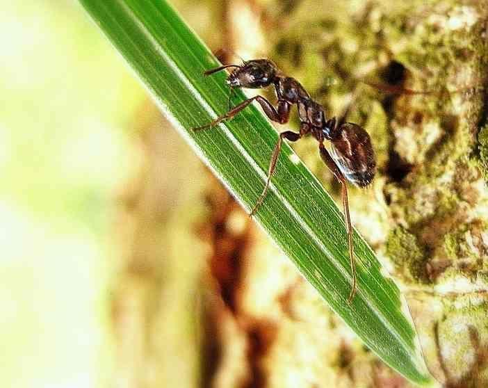 Como eliminar as formigas das plantas. Ainda que pareça mentira, as formigas são uma das piores pragas para as plantas. Embora estes pequenos animais não sejam perigosos para a espécie humana, podem provocar danos e inconvenientes ao nosso...