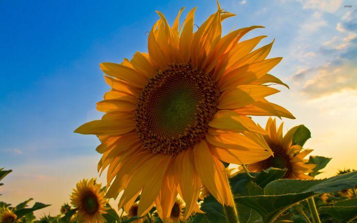 17 Best Ideas About Ipod Wallpaper On Pinterest: 17 Best Ideas About Sunflower Wallpaper On Pinterest