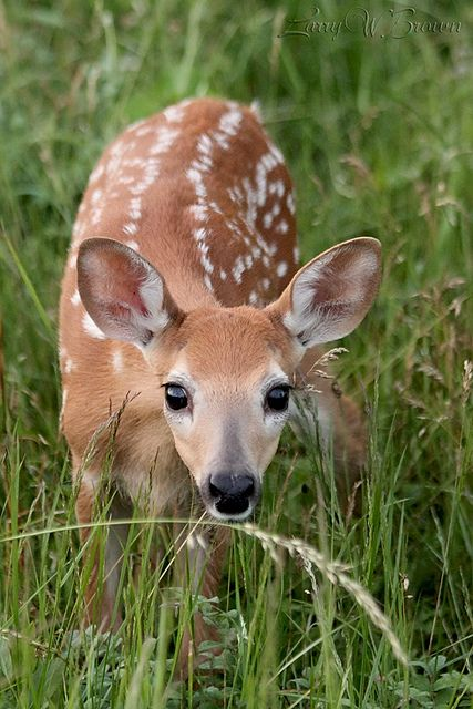 Wide-Eyed Wonder, Whitetail Fawn - Big Meadows, Shenandoah National Park | by Larry W Brown, via Flickr