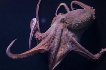 Kan blæksprutter dyrkes for fødevarer? / ibuycarz.com