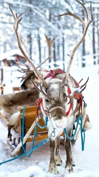 Sleigh Riding with a Reindeer