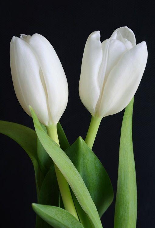 white tulips.                                                                                                                                                     More