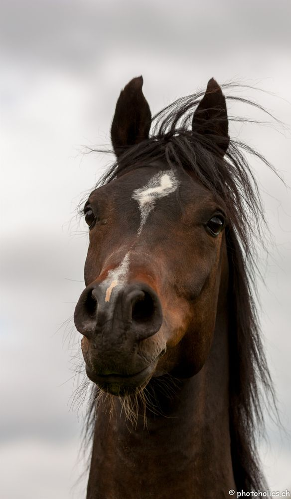 .Arabian Horse Arabian Horse Show - Western Competition Egyptian Stallion Breeding PIntabians