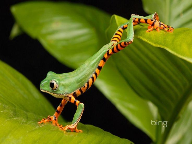 afbeelding toont een kikker met zwarte strepen op zijn billen bewegen over een aantal bladeren