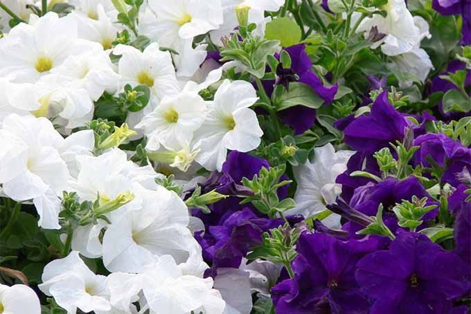 19 Fragrant Flower And Shrub Favorites With Images Fragrant
