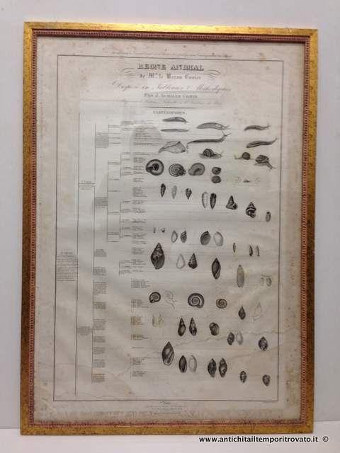 Oggettistica d`epoca - Stampe e dipinti - Le regne Animal: Baron Cuvier Le regne Animal, Dumenil - Immagine n°1