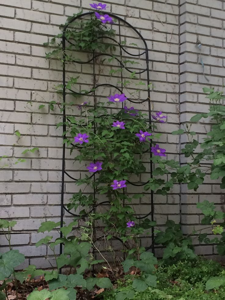 Clematis-- May 16, 2015