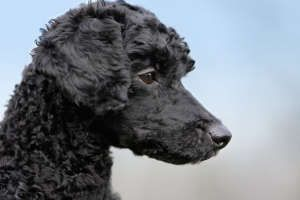 I know everyone thinks poodles need fluffy ears, but I love this keen look of the clipped ear.