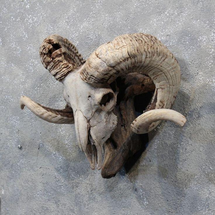 Corsican Ram Skull 3 4 Horns Reference Pinterest