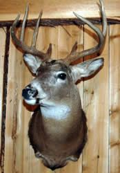 $595 Mac's Taxidermy, Mooseheads for Sale, Taxidermy for sale, Taxidermy Mounts for sale, TODAY!