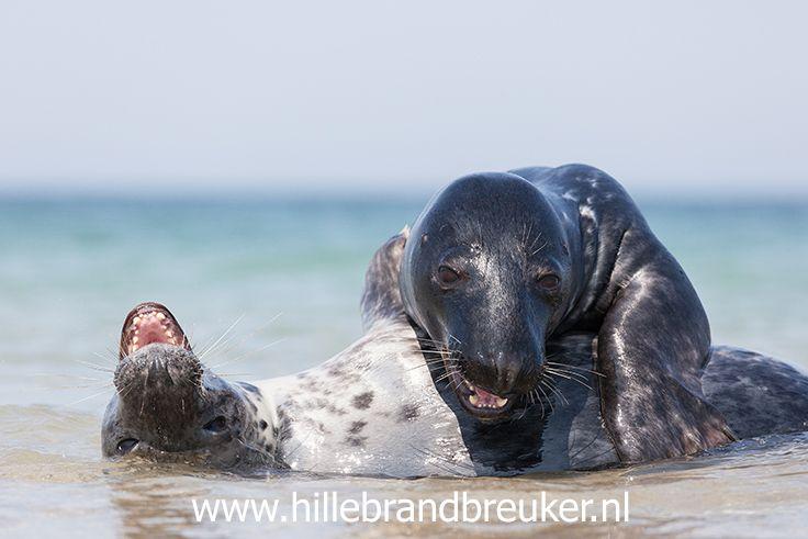 Grijze zeehonden gefotografeerd tijdens een fotografiereis naar Helgoland