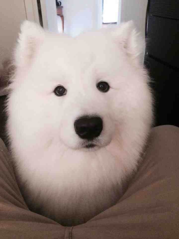 met a samoyed in sydney this weekend. LOVE THEM
