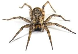"""Hobo Spider – Vary from ½"""" to 1 ¾"""" in body length, with dark brown carapace. The abdomen has a chevron pattern that often fades in older specimens. The hobo spider actually helps control many insect pests. During late summer the male travels about looking for mates. Hobo spiders bite when startled or threatened. What starts as a small spider bite can grow into a large wound as its powerful venom slowly kills the flesh."""