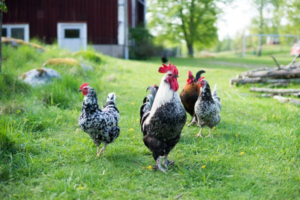 Skaffa höns och vänta på kycklingar | ♥ Fyra årstider - mitt liv på landet | Bloglovin'