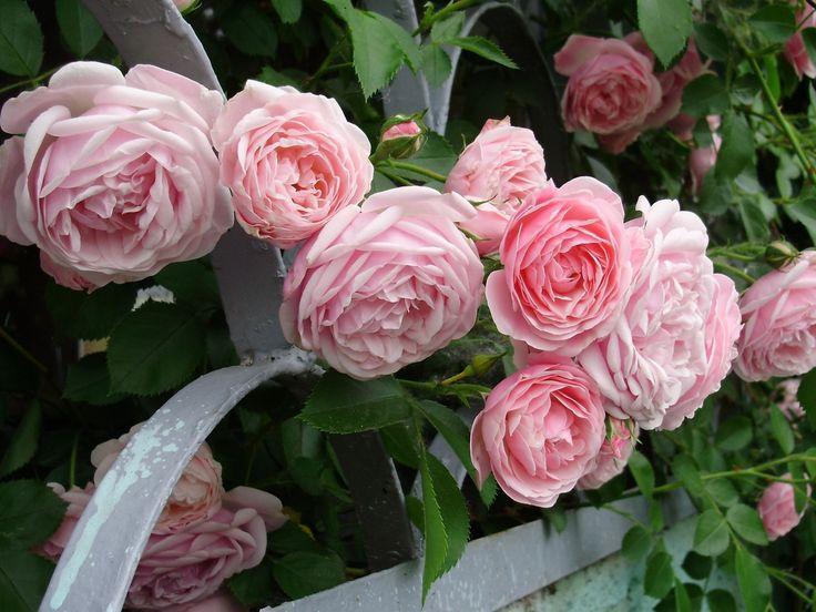 花画像, バラの壁紙, フェンスベクトル, 庭の背景, 低木材料