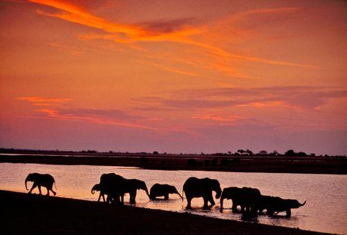 African elephants drinking at sunset, Loxodonta africana, Chobe National Park, Botswana