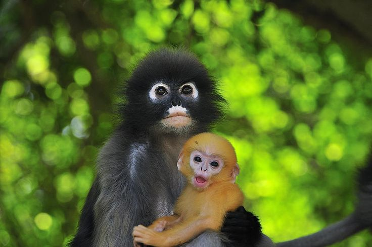 The dusky leaf monkey, spectacled langur, or spectacled leaf monkey is a species of primate found in Malaysia, Myanmar, and Thailand. infants are born with a bright orange or yellow coat, which persists until around the ten month mark.
