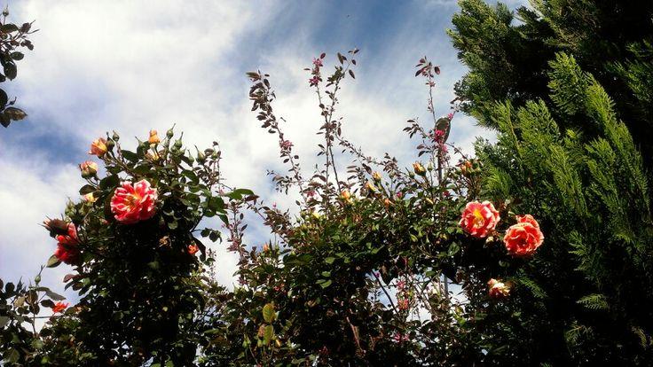 Rosas de mi casa