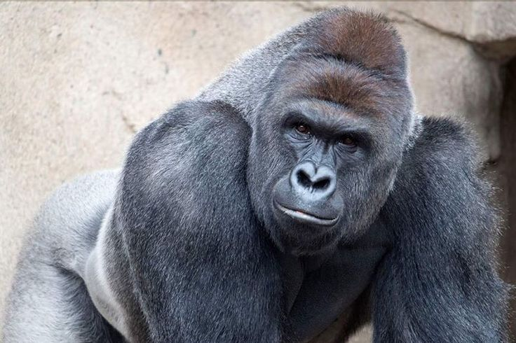 Harambe the gorilla 1999-2016 --His life was more valuable than 10,000 democrats.