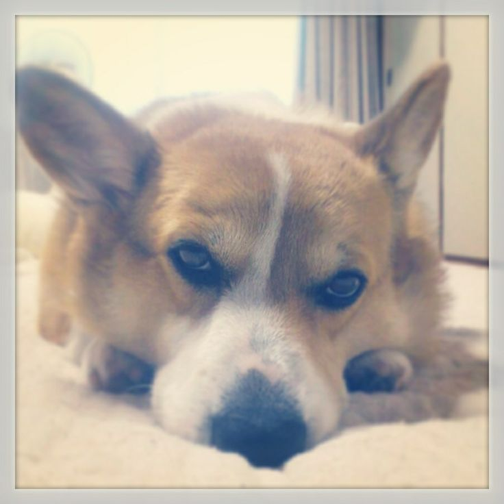 Boooooooooo #dog #corgi