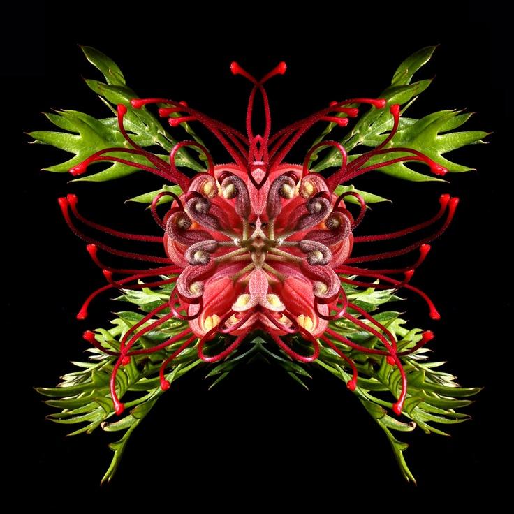 Grevillea - butterfly like