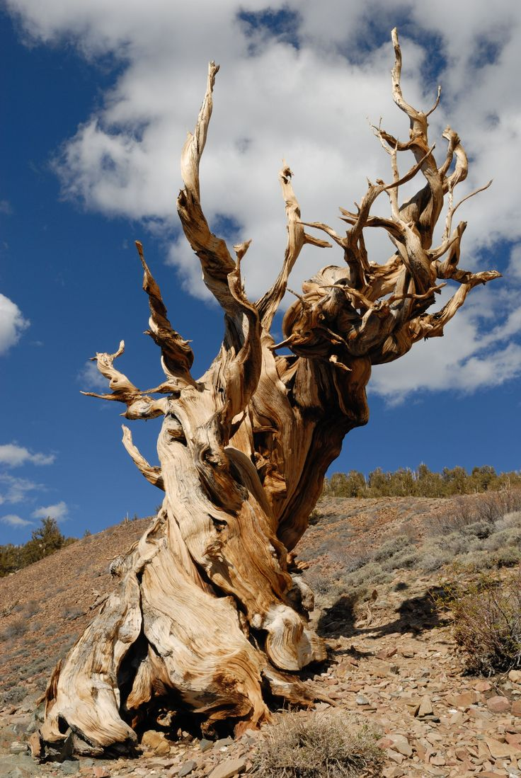 17 best images about tat trees coins and world tale of the accidental felling of a an almost year old great basin bristlecone tree dubbed prometheus currey downplayed the discovery in a dry essay