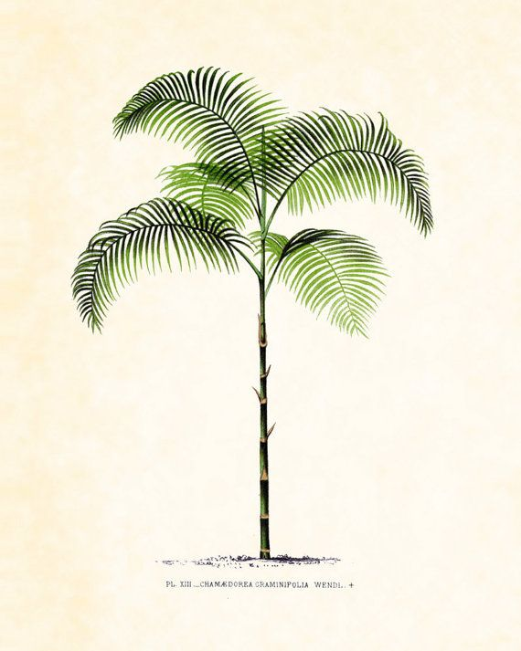 palm tree  illustration from the French 1878 edition of Les Palmiers Histoire Iconographique, take inspiration from simplicity and use of symmetry