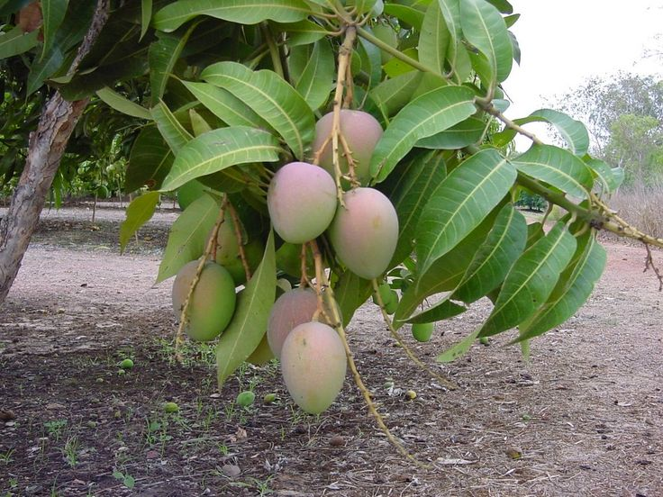 Mango Tree: Multiple Health, Summer Fruit, Plants Trees I Ve, Health Benefits, Fruits, Fruit Trees, Edible Plants, Fiber, Mango Trees