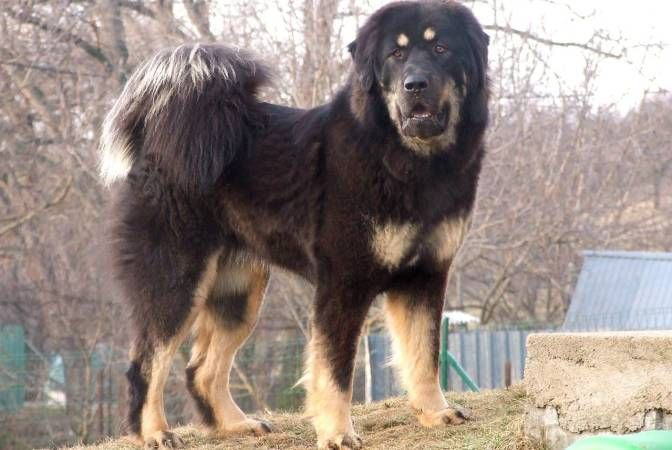 Tibetan Mastiff. A fluffy, cute yet stubborn and protective dog breed.