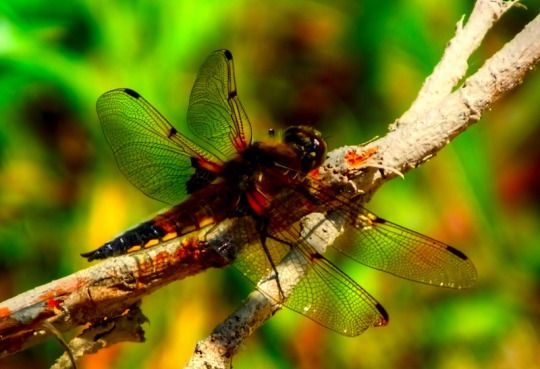 Dragonfly in La Coulee, Manitoba