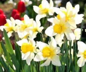 Цветы в доме зимой Посадка нарциссов
