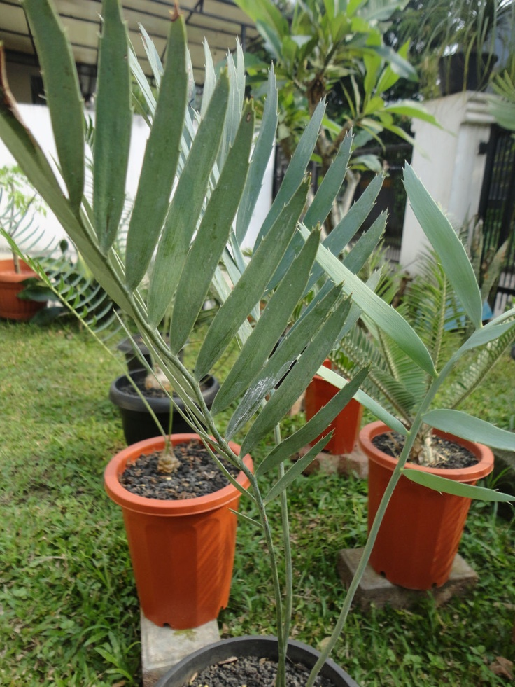 Encephalartos nubimontanus 'Prevaleent'