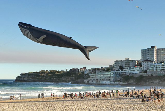 Blue Whale, A Realistic 100 Foot Long Kite by Peter Lynn Wailord Used Body Slam