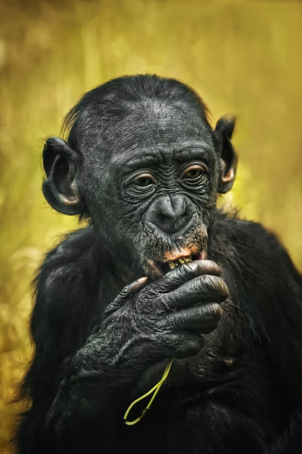 bonobo v2 by Detlef Knapp, via 500px