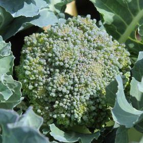 Broccoli Calabrese (Samen)  Frühreif und ertragreich. In der Mitte wird eine ziemlich große Hauptrose gebildet, wird diese geerntet, wachsen reichlich Seitenröschen nach. Es ist schwierig, Broccoli zu finden, der keine F1-Hybride ist. Man muss sich vorstellen, dass in der EU ca. 150 Sorten zugelassen sind und nur etwa ein Zehntel davon samenechte Sorten sind. Und selbstverständlich ist Calabrese - wie alle unsere Gemüsesorten - samenecht!