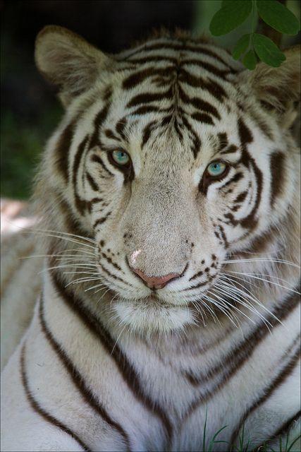~~White Tiger by Fotografik33~~