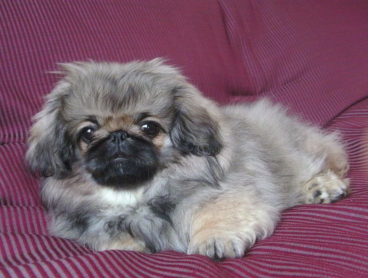 Pekinese pup - a real pillow princess.
