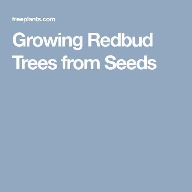 Growing Redbud Trees from Seeds