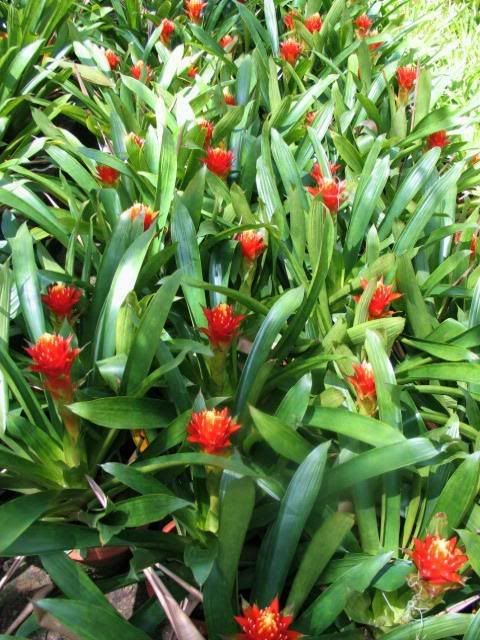 Bromeliad collection at Nong Nooch TBG