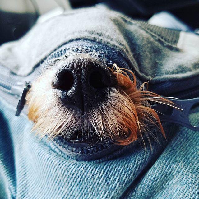 病院いややなぁ… (。-ω-) #todyswanko#toypoodle#east_dog_japan#pecoいぬ部#inutokyo#ふわもこ部 #ミックス犬同好会#ミックス犬#マルプー連合#マルプー#マルチーズ#愛犬#どあっぷ#鼻#出てる