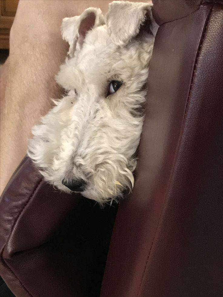 A pro at the stink eye!  Winnie the wire fox terrier