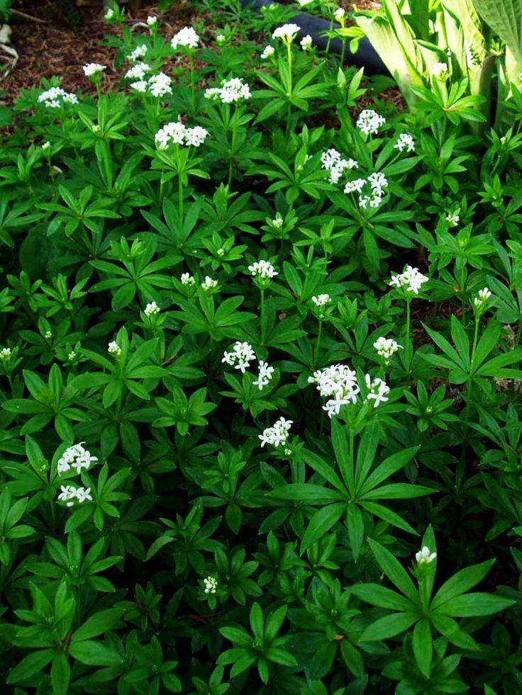 Myskmadra, Galium odoratum. Vita stjärnlika blommor. Mycket bra marktäckare i skuggiga lägen. Hela växten doftar härligt, därav namnet. Blommar maj-juni.